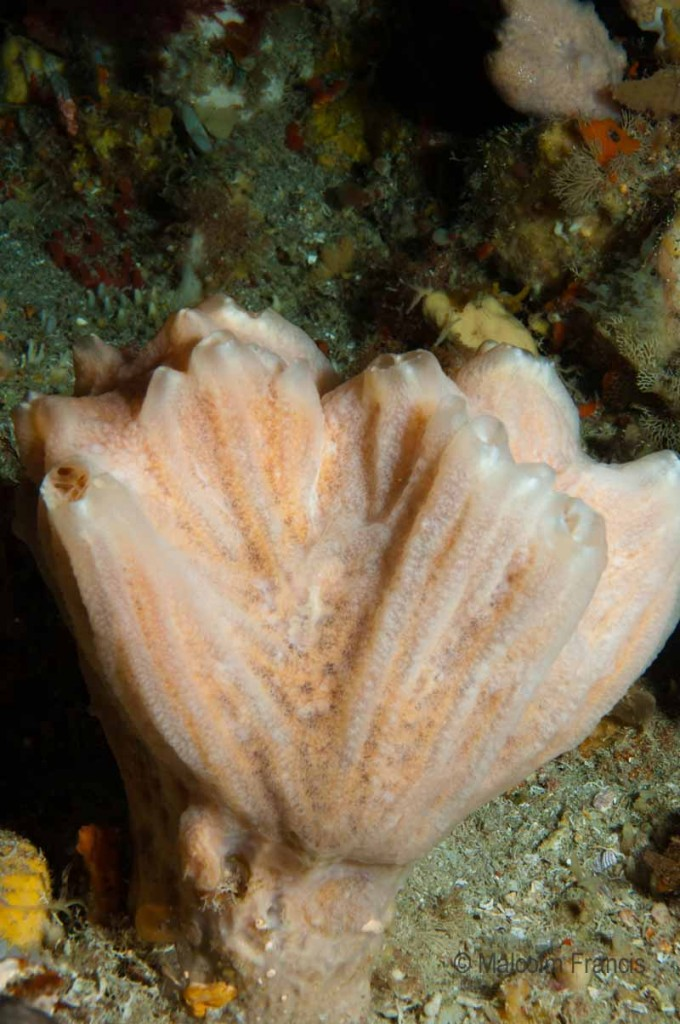 ID pending - the invertebrates team think this is ascidian