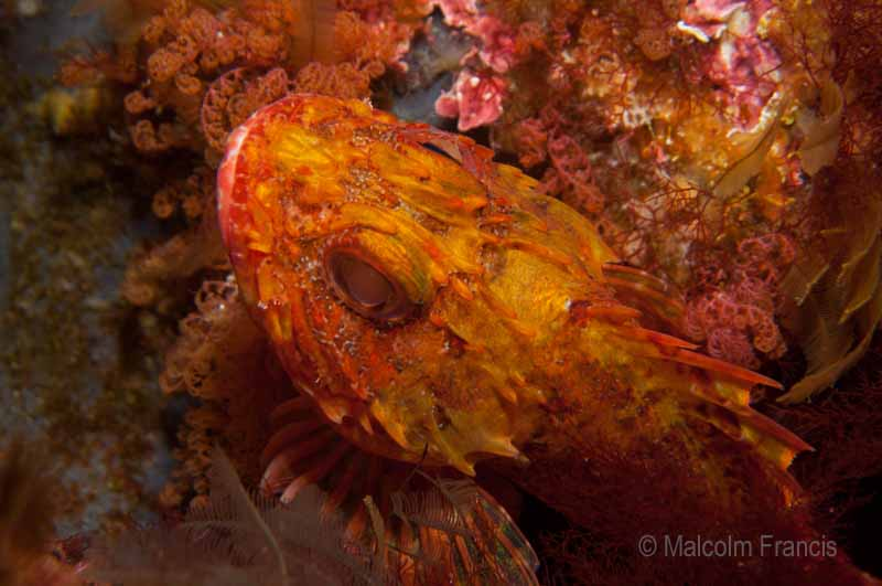 A dwarf scorpionfish doing a very good job of blending in