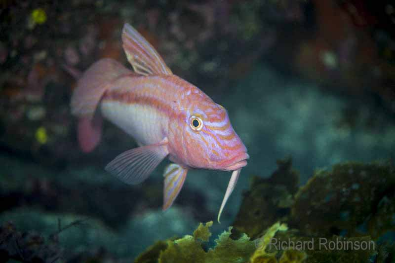 Goatfish: love the goaty barbels under their chin