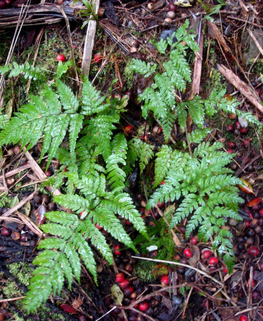 Lastreopsis plant Raoul Island Moumoukai Track near base 14 May 2011