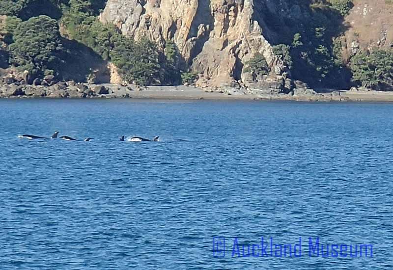 We spotted a pod of more than 10 orca whales - here are a few of them swimming past the Cavalli Islands