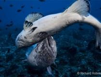 RR-8-spotted-black-grouper