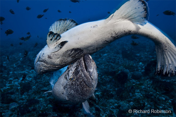 RR-8-spotted-black-grouper