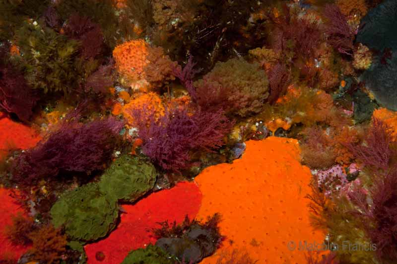 Sponge patchwork: All along the wall encrusting sponges are fighting for space with each other and with soft red algae.