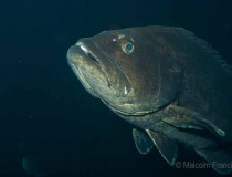 Spotted black grouper Three Kings Is MPF-2