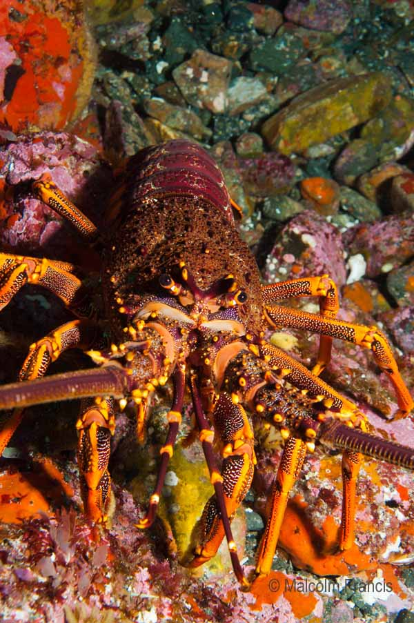 Ready for my close-up: this crayfish came close enough to Malcolm's camera to bump into it