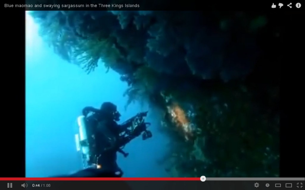 Video of blue maomao & sargassum