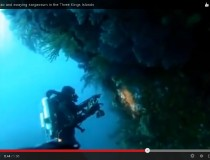 Underwater video: Blue maomao and swaying sargassum in the Three Kings Islands