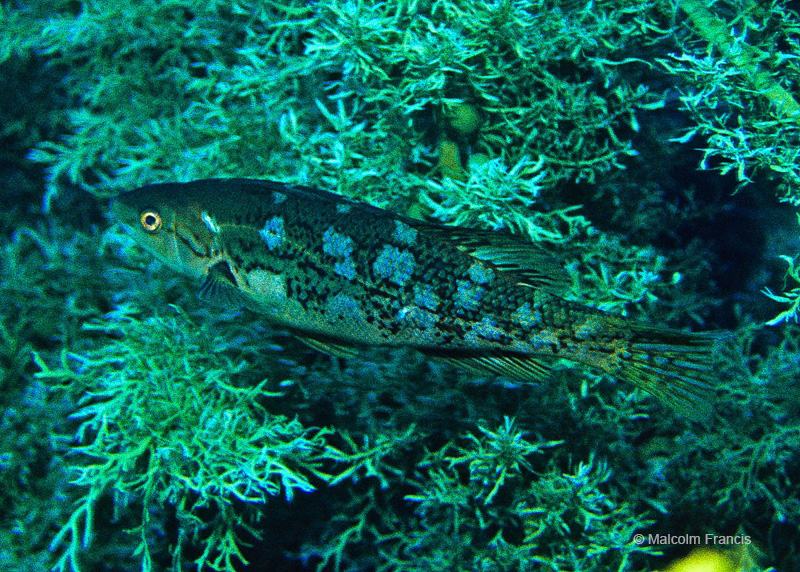 Three Kings Butterfish are one of 94 fish species recorded as living in the Three Kings Islands in the book Coastal Fishes of New Zealand - and hopefully we'll be able to add some new records after this expedition