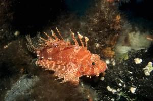 d-brachypterus-mf2