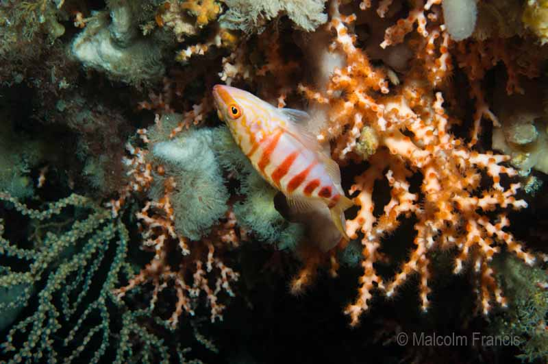 A half-banded perch nestled in amongst oculina and a gorgonian fan