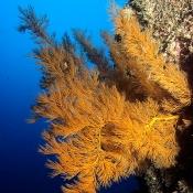 Black coral tree. Image Malcom Francis