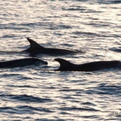 These bottlenose dolphins were regular visitors while we were in the vicinity of the Princes Islands © Malcolm Francis