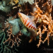 A half-banded perch nestled in amongst oculina virgosa and a gorgonian fan © Malcolm Francis © Malcolm Francis