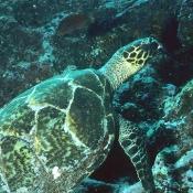 Hawksbill turtle.  © Malcom Francis