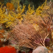 A peachy Callogorgia gorgonian fan and another mystery for our invertebrate team nestled in behind it – anyone know what the yellow plant structure in the back is? © Malcolm Francis