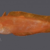 Bright orange Lotella cod – just 10cm long but a first for the world © Carl Struthers