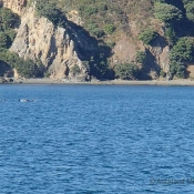 We spotted a pod of more than 10 orca whales – here are a few of them swimming past the Cavalli Islands © Richard Robinson