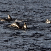 Pilot whales © Malcolm Francis