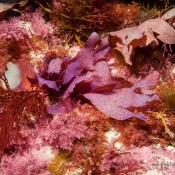 A mixed bouquet of seaweeds: our seaweed experts can see at least 12 different kinds in this one area © Malcolm Francis