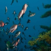 A familiar scene for the divers today: clear waters, vasts forest of soft seaweed and schools of butterfly perch fish © Malcolm Francis