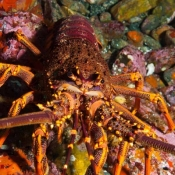 Ready for my close-up: this crayfish came close enough to Malcolm's camera to bump into it © Malcolm Francis